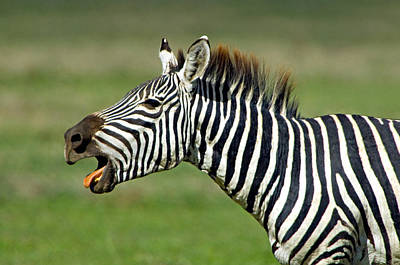 Side Profile Of A Zebra Braying Print by Panoramic Images