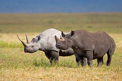 Rhinoceros Photograph - Side Profile Of Two Black Rhinoceroses by Panoramic Images