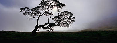 Silhouette Of A Koa Tree, Mauna Kea Print by Panoramic Images