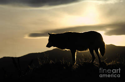 Wolf Photograph - Silhouetted  by Wildlife Fine Art