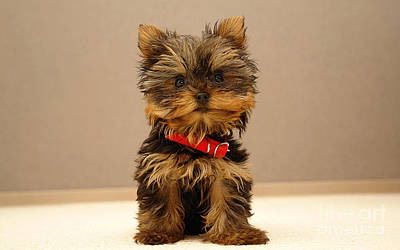 Silky Terrier Mixed Media - Silky Terrier by Marvin Blaine