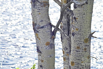 Silver Birch Trees At A Sunny Lake Print by Heiko Koehrer-Wagner