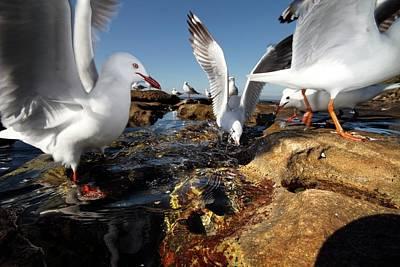 Sea Gull Photograph - Silver Gulls by Gerry Pearce