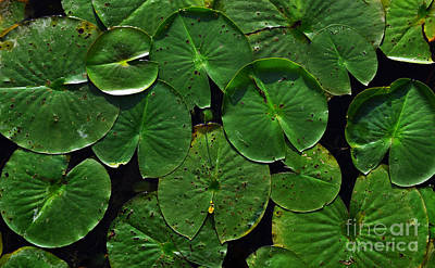 Water Photograph - Simply Lilly Pads by Amy Lucid