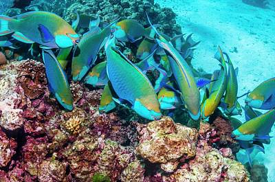 Parrotfish Photograph - Singapore Parrotfish by Georgette Douwma