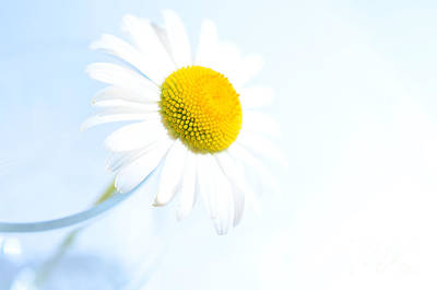 Blueish Photograph - Single Daisy Flower In Vase by Sabine Jacobs