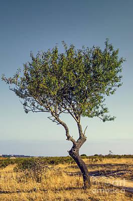 Olive Wood Photograph - Single Olive Tree by Carlos Caetano