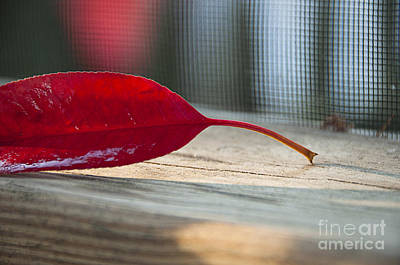 Sun Porch Photograph - Single Red Leaf by Terry Rowe