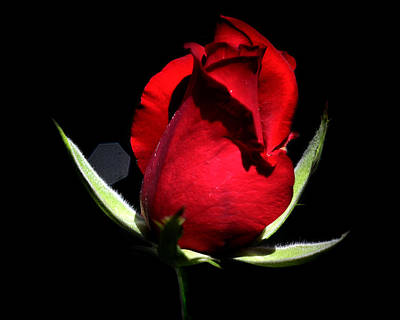 Roses Digital Art - Single Red Rose by Camille Lopez