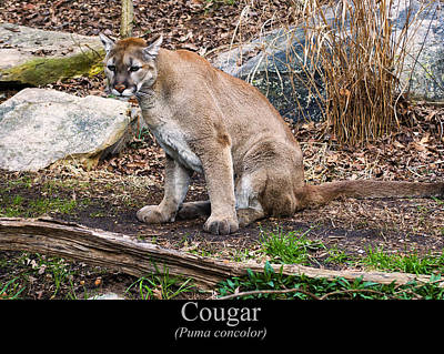 sitting Cougar Print by Chris Flees