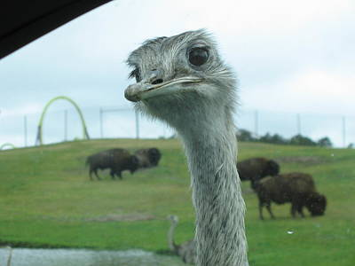 Six Flags Great Adventure - Animal Park - 121210 Print by DC Photographer