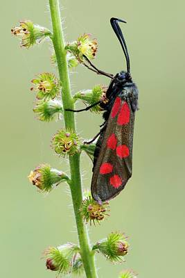 Six Spot Burnet Moth Print by Heath Mcdonald