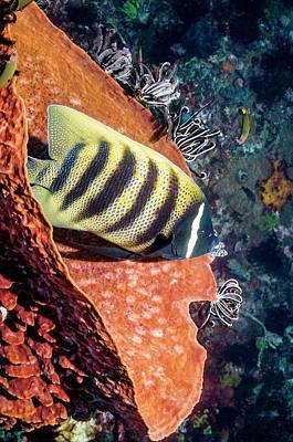 Sixbar Angelfish On A Reef Print by Georgette Douwma