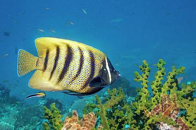 Anthozoa Photograph - Sixbar Angelfish Over Sun Coral by Georgette Douwma