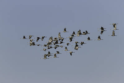 Sixty Five Cranes In Flight  Print by Thomas Young