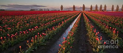 Festival Photograph - Skagit Tulip Fields Panorama by Mike Reid