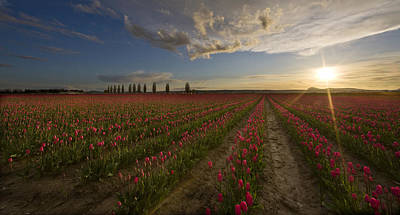 Tulips Photograph - Skagit Tulip Fields Sunset by Mike Reid