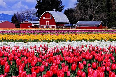 Pink Tulips Photograph - Skagit Valley by Benjamin Yeager