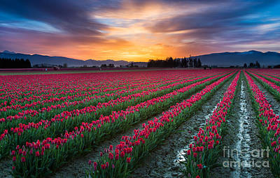Spring Bulbs Photograph - Skagit Valley Predawn by Inge Johnsson