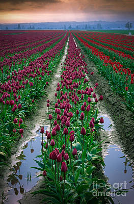 Mount Vernon Photograph - Skagit Valley Tulips by Inge Johnsson