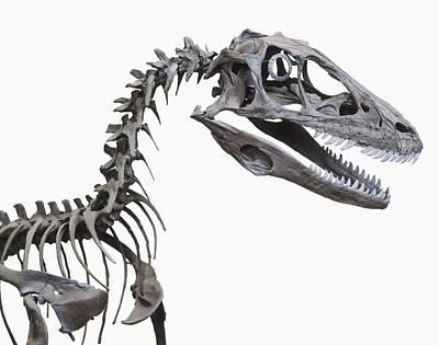 Skeleton Of A Deinonychus Print by Dorling Kindersley/uig