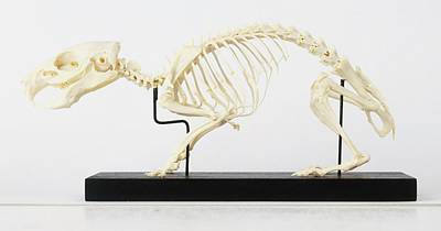 Skeleton Of Guinea Pig Print by Dorling Kindersley/uig