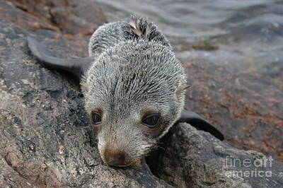 Rodney Fox Photograph - Skinny Fur Seal by Crystal Beckmann