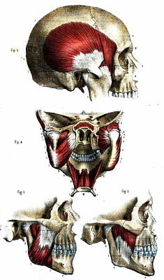 Skull Anatomy Print by Collection Abecasis