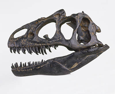 Skull Of Allosaurus Print by Dorling Kindersley/uig