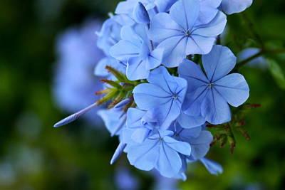 Flower Photograph - Skyflower - Imperial Blue Plumbago by Karon Melillo DeVega