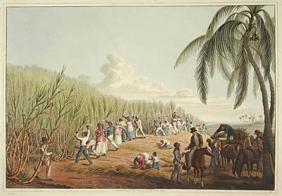 Slaves Cutting The Sugar Cane Print by British Library
