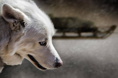Husky Photograph - Sled Dog by Bob Orsillo