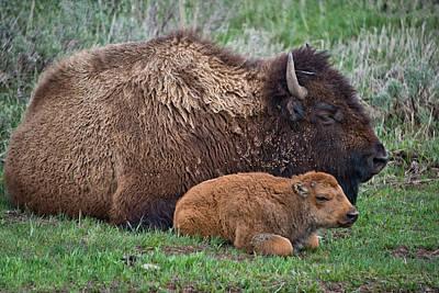 Buffalo Photograph - Sleep Time by Leland D Howard