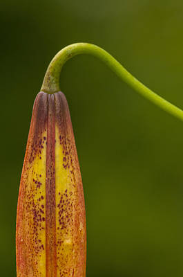 Sleeping Beauty - Turks Cap Lily Print by Photography  By Sai