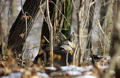 Photograph - Sleeping Roe Deer by Dragomir Felix-bogdan