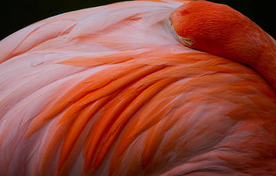 Portrait Photograph - Sleepy Flamingo by Andres Leon