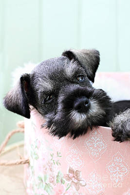 Sleepy Mini Schnauzer Print by Stephanie Frey
