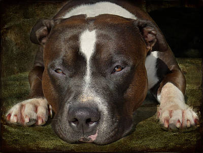 Puppy Photograph - Sleepy Pit Bull by Larry Marshall