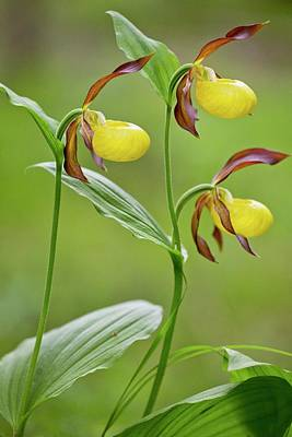 Dolomite Photograph - Slipper Orchid (cypripedium Calceolus) by Bob Gibbons