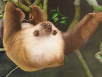 Sloth Mixed Media - Sloth In A Tree by Peter Hartog