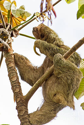 Sloth Photograph - Sloth In Costa Rica by Natural Focal Point Photography