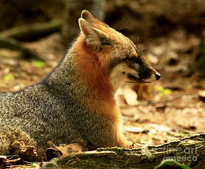 Sly Rare Grey Fox  Print by Inspired Nature Photography Fine Art Photography