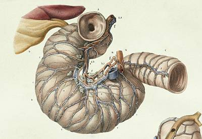 1839 Photograph - Small Intestine by Science Photo Library
