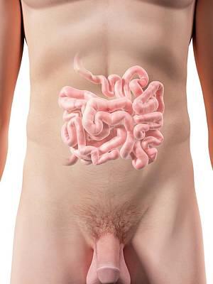 Small Intestine Print by Sciepro
