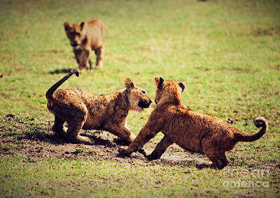 Action Photograph - Small Lion Cubs Playing. Tanzania by Michal Bednarek
