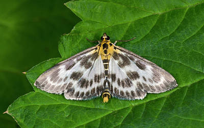 Magpies Photograph - Small Magpie Moth by Nigel Downer