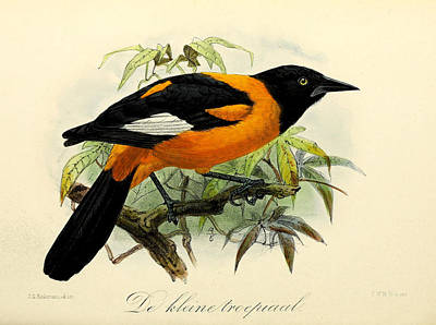 Oriole Painting - Small Oriole by J G Keulemans