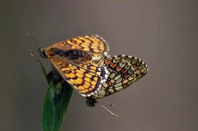 Insects Photograph - Small Pearl-bordered Fritillary Mating by Heiti Paves