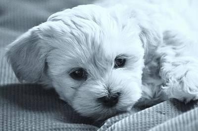 Small Puppy Portrait Print by Lisa  DiFruscio