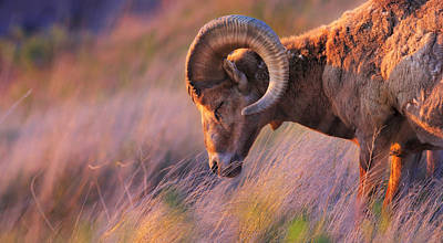 Big Horn Sheep Photograph - Smell The Wind by Kadek Susanto
